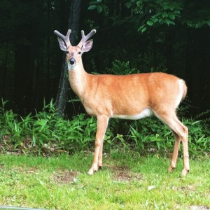 A wild buck I encountered in WV.